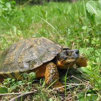 tortue-des-bois