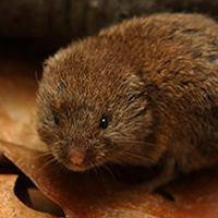 woodland-vole