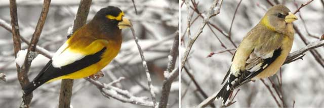 colour photograph of two evening grosbeak birds on snow-covered branches.
