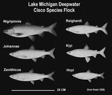 Lake Michigan species flock