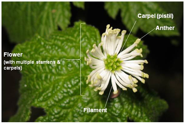 Picture of Goldenseal flower with labels describing its anatomy. The flower looks white, from its numerous long white filaments with faintly-green anthers on their tips, with green carpels or pistils in the centre of the flower.