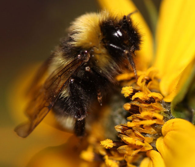 Photograph of a Gypsy Cuckoo Bumble Bee posed on a flower.