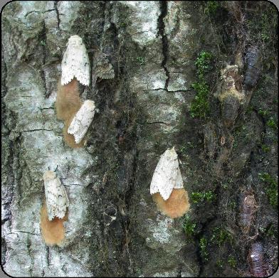 Gypsy moth adults laying eggs