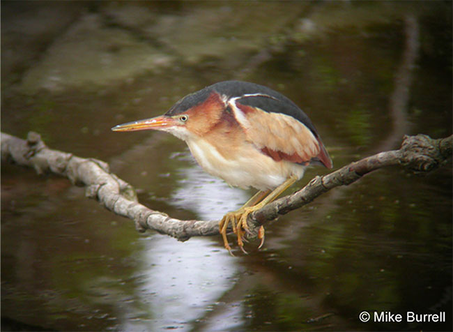 Photograph of a Least Bittern on a branch over water.