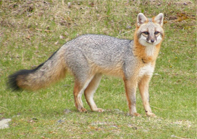mecp-sar-gray-fox.jpg