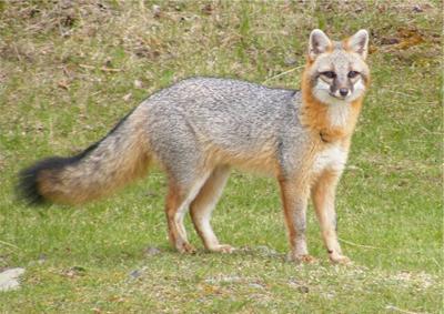 mecp-sar-gray-fox.jpg