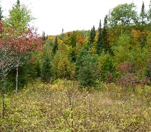 A photo of a forest with a clearing. The forest and clearing are composed of a variety of deciduous (broad leaf) and coniferous (needle-like) trees of various shapes and sizes. The clearing is less dense and allows growth of low laying shrubs and smaller plants that often provide wildlife with food.