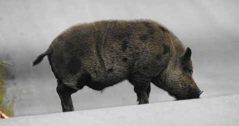 A medium-sized, dark brown, spotted, pot-bellied pig walking in the middle of a road – photo taken in southern Ontario.