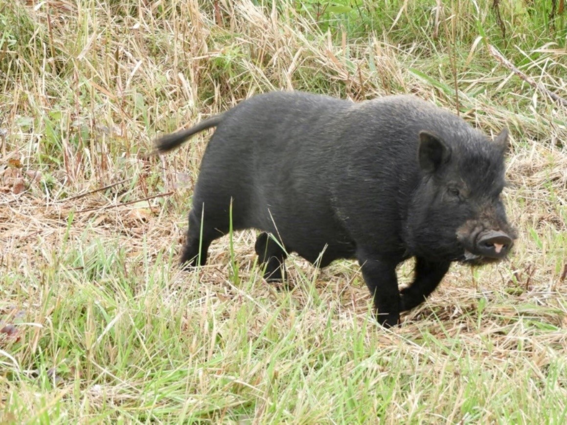 Photograph of a black, feral pot-bellied pig in a field.