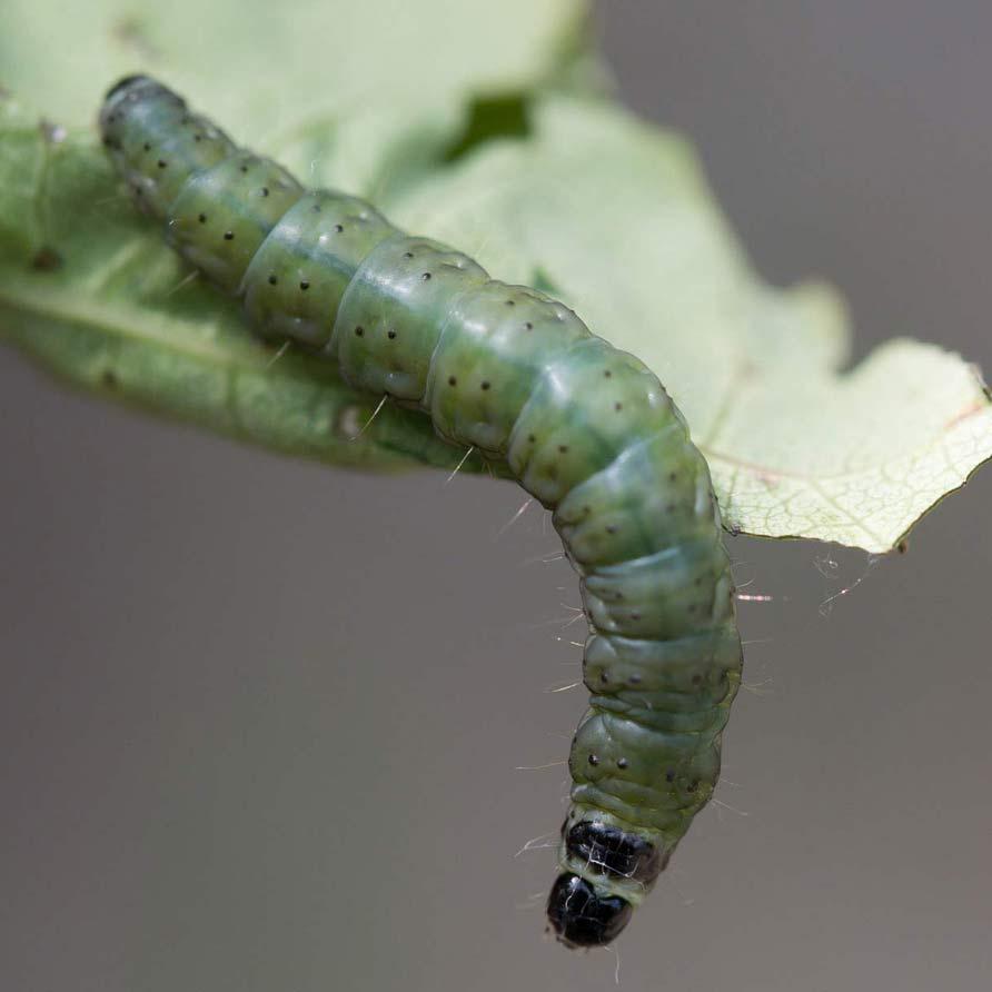 large aspen tortix caterpillar on leaf