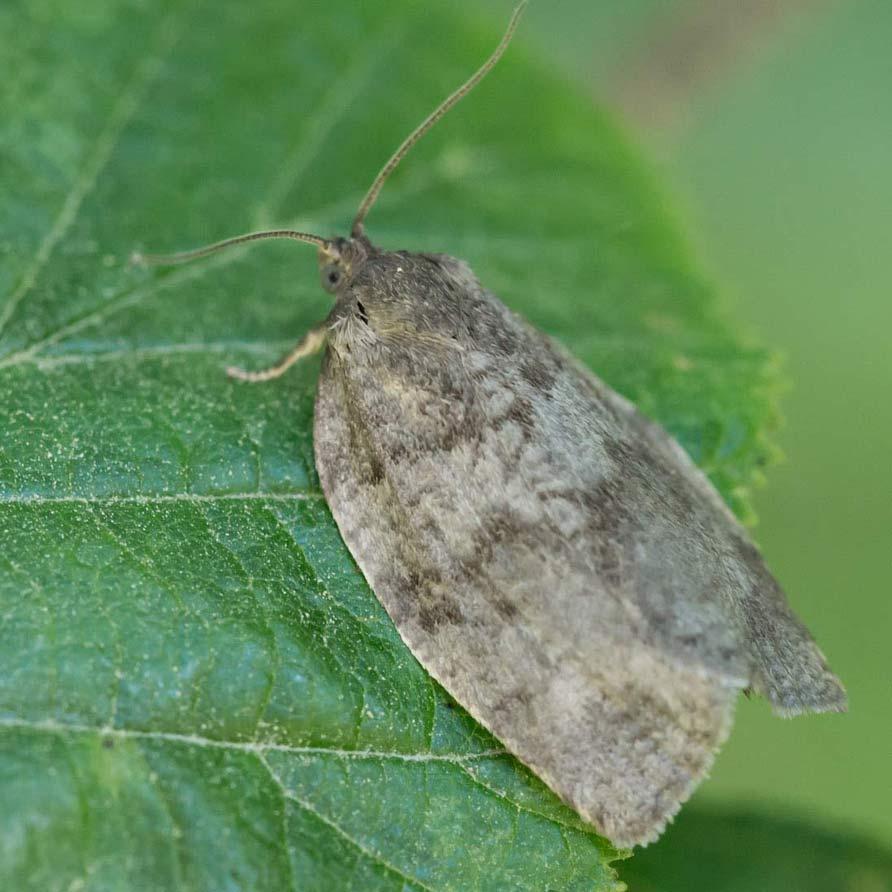 large aspen tortix moth on leaf