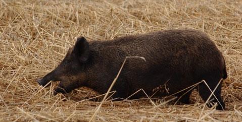 Wild pig (boar) in hay field – photo taken in Saskatchewan.
