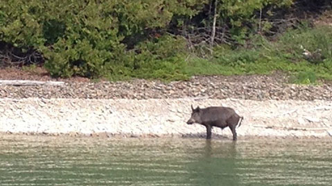 Photograph taken in Ontario of an invasive wild pig (boar) standing at the edge of a lake.