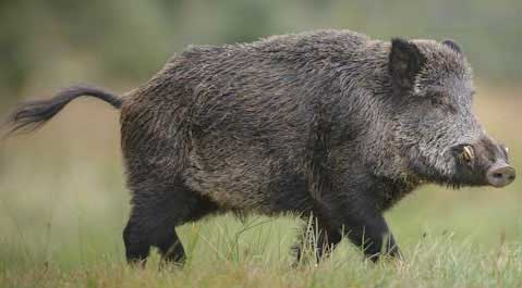 Large invasive wild pig (boar) with tusks walking in a field.