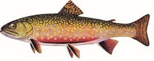 Image of brook trout