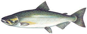 Image of Species-Chinook Salmon