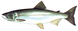 Image of Species-Coho Salmon