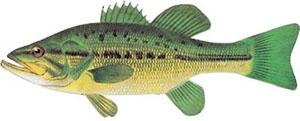 Image of largemouth bass