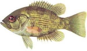 Image of rock bass