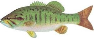 Image of smallmouth bass