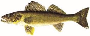 Image of walleye