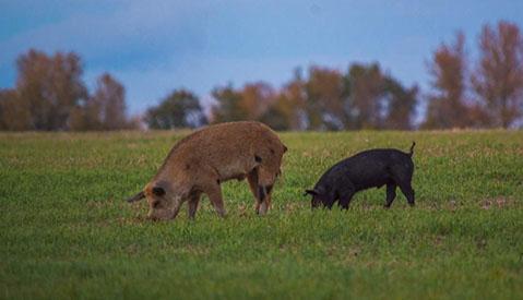 A tan wild pig (boar) sow and black wild (boar) piglet feeding in an open field – photo taken in Saskatchewan.