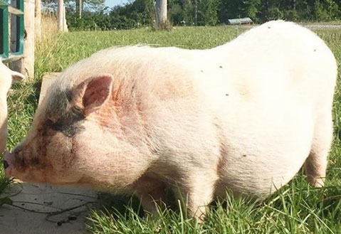 A large white wild pig with pot-bellied pig features.