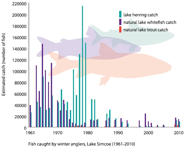This bar graph shows the estimated catch in numbers of fish for lake herring (cisco), natural lake whitefish, and natural lake trout from 1960 to 2010. All species were fished in the 1960s and 1970s but lake whitefish in particular declined severely in the 1980s and 1990s. Lake herring also declined precipitously in the 1980s. The trend in the 2000s has been of improving fish catches, particularly for whitefish.