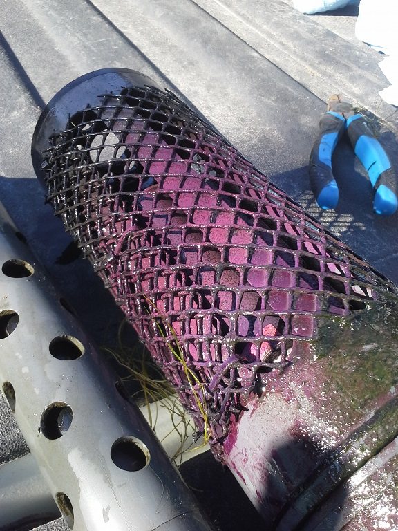This image shows a cylindrical perforated filter with purple sulphur bacteria on its surface