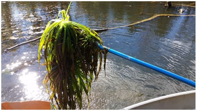 This image shows a mass of Water Soldier plants being manually extracted with a pole from the Black River in Lake Simcoe during the fall of 2015 as part of the MNRF's rapid response activities to invasive species reports.
