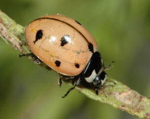 Consider, Asian ladybug genus species name you