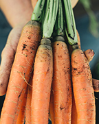 Ontario farmer holding a bundle of carrots