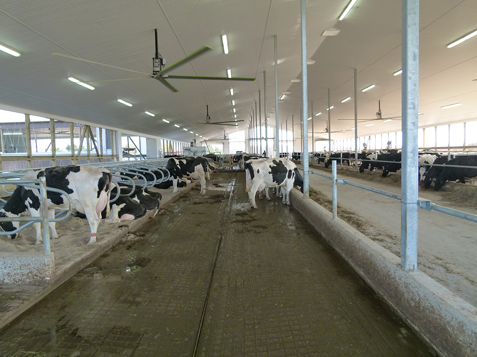 Interior of a freestall dairy barn showing large ceiling fans mounted over the cows