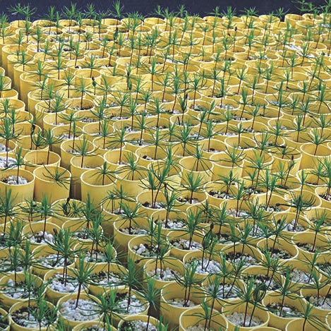 Tree seedlings growing in containers