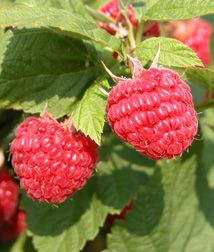 Photo Courtesy of Ontario Berry Growers Association
