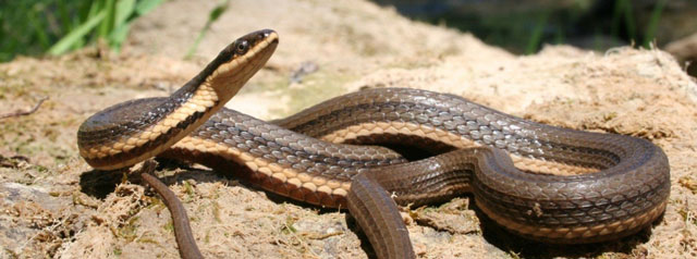 This is a photograph of a Queensnake on a rock