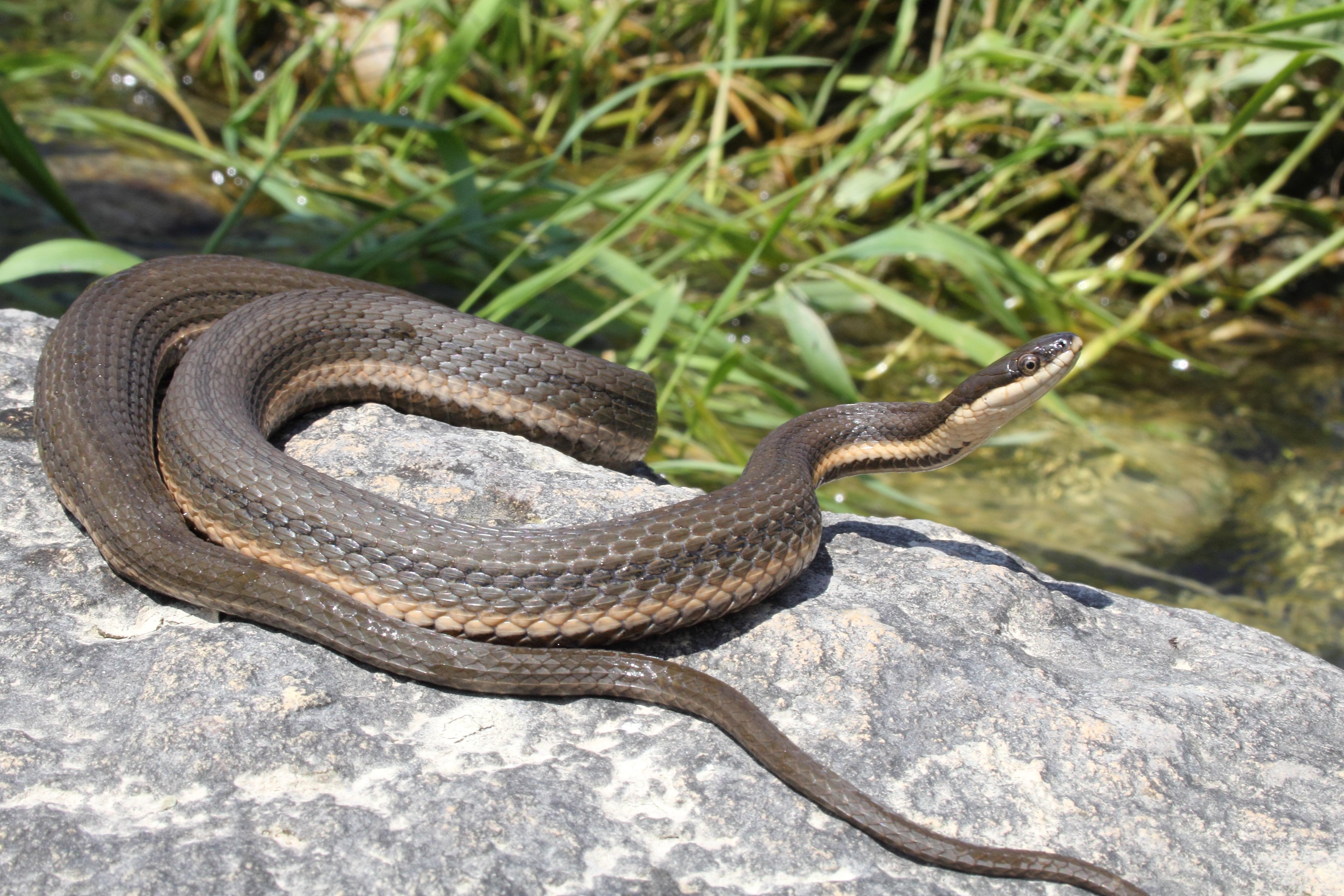 queen snake