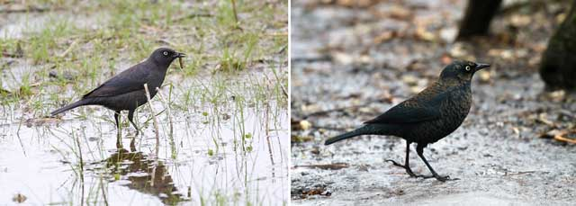 colour photograph of two rusty blackbirds.