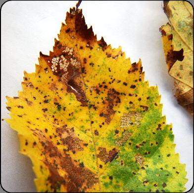 Septoria leaf spot of birch ontario septoria leaf spot on birch thecheapjerseys Choice Image