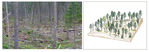 Shelterwood system