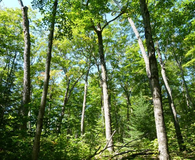 Sugar Maple Acer Saccharum Ontarioca