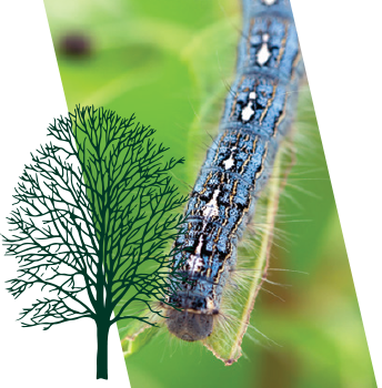 The forest tent caterpillar