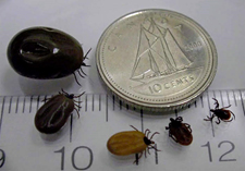 5 ticks on a ruler and surrounding a dime. They range in size from about 3 millimeters long to about half the size of the dime.